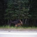 Eastern Moose