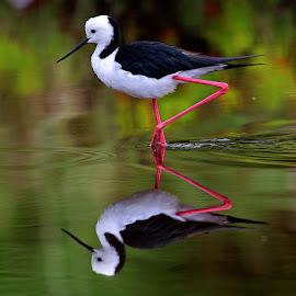 Great Legs!! by Anthony Goldman - Animals Birds ( water, wild, reflection, stilt, black winged, bied, eve`s wetlands, sydney )