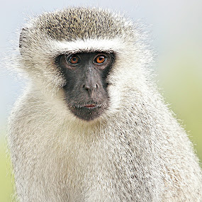 Portrait of Big Daddy by Pieter J de Villiers - Animals Other ( mammals, limpopo, marakele national park, animals, other, south africa, vervet monkey, portrait, troop-leader,  )