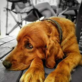 Relaxing by James Timmer - Animals - Dogs Portraits
