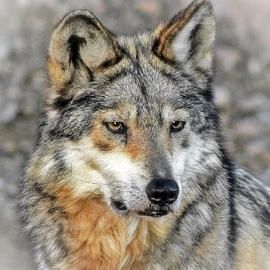 HDR Mexican Gray Wolf by Elaine Malott - Digital Art Animals ( animals, dogs, nature, wolf, wildlife, wolves, caninie )