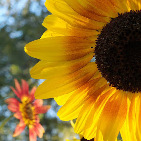 Sunflowers of 2013 garden. by ChrisTina Shaskus - Flowers Flower Gardens (  )