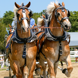 The Team by Nancy Merolle - Animals Horses ( farm, animals, draft horses, equine, horses, wagon, belgian horses, draft animals, competition )