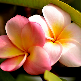Pink Frangipani 113 by Mark Zouroudis - Flowers Tree Blossoms