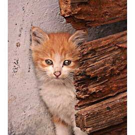 cuty by Madhu Payyan Vellatinkara - Animals - Cats Kittens ( baby, young, animal )