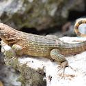 Cuban / Northern Curly-tailed Lizard