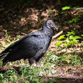 Black Vulture it the Brush by Jay Huron - Animals Birds ( bird, wild, vulture, raptor, black,  )