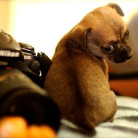 by Lourdes Villela - Animals - Dogs Puppies