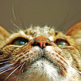 by Josh Metheny - Animals - Cats Portraits (  )