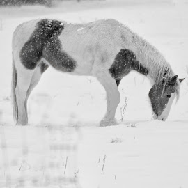 B&W Beau by Kansas Allen - Animals Horses ( ranch, canada, corral, black and white, horse, farm, nature, food, snow, hay, feed, bc, lillooet )