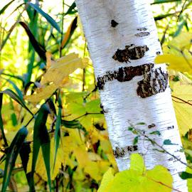 Birch by Sandie Lawler - Novices Only Landscapes ( birch, tree )