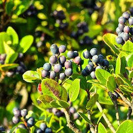 Berries by Craig Sanden - Nature Up Close Gardens & Produce ( fruit, nature, bush, nature up close, photography, south korea, berries )