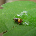 meadow spittlebug/froghopper