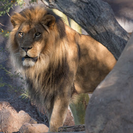 Kitambi II by Daryl Nickelson - Animals Lions, Tigers & Big Cats ( big cats, nature, wildlife, lions, photography )