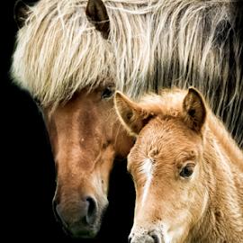 Family by Erik Kunddahl - Animals Horses ( iceland, equine, horses, equstrian, nikon, foal )
