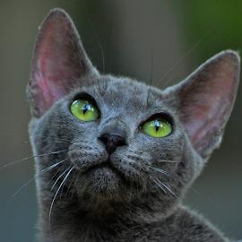 by Cacang Effendi - Animals - Cats Portraits ( cattery, kitten, cat, chandra, animal )