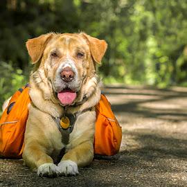 Hiking Buddy by Amy Vaughn - Animals - Dogs Portraits ( trail, dog portrait, dog, hiking, shar pei lab mix )