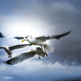 flight...... by Tanya Popove - Animals Birds ( flight, three, seagulls, group, birds )