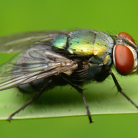 fly by Weri Suweri - Animals Insects & Spiders ( macro, fly, green )