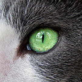 A Kitty Eye by Holly Dolezalik - Animals - Cats Portraits ( cat, green, pet, feline, gray and white cat, animal, gray and white, eye )