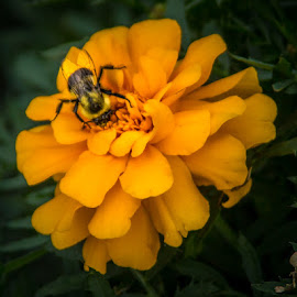 by Shari Brase-Smith - Nature Up Close Gardens & Produce ( orange, bee, fall, marigold, flowers )