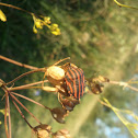 Shield Bug (Graphosoma lineatum) - Streifenwanze