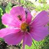 Sweat Bee on Cosmos