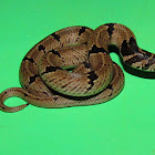 Common Kukri snake (Juvenile)