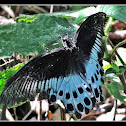 Blue Mormon butterfly