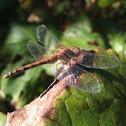 Bruinrode heidelibel (Sympetrum striolatum)