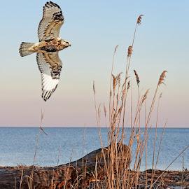 Roughie by Barbara Frankenfield - Digital Art Animals ( hawks, beach, raptors digital art )