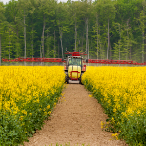 Spraying Pests by Anita  Christine - Landscapes Prairies, Meadows & Fields ( field, deutschland, nature, wewer, canola, pest, raps, germany, yellow, der raps, paderborn,  )