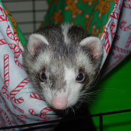 Ferret in Hammock by Kristina  Dorsett - Animals Other ( cute ferret, cute animal, animal other, ferret, animal )