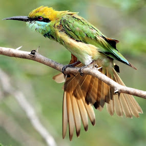 Green Bee-eater by S Balaji - Animals Birds ( animals, nature, beeeaters, greenbeeeaters, green bee-eaters, birds,  )