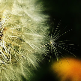 blowball's satelite  by Bernarda Bizjak - Nature Up Close Other plants (  )