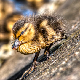 Duckling by David Charlton Photos - Novices Only Wildlife (  )