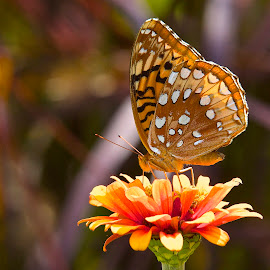 Butterflies & Flowers by Roy Walter - Animals Insects & Spiders ( butterfly, animals, nature, insect, flower )