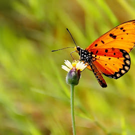 butterflay by Ikhwan El-Shofa - Animals Insects & Spiders