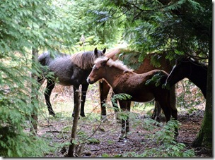 caballos rubios-qpr