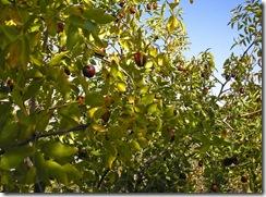 Azufaifos con fruto