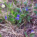 Early Blue Violet, Meadow Violet