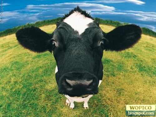 Very Cute Cows