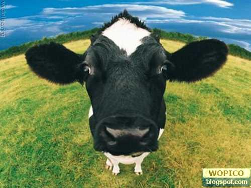 Very Cute Cows. Very Cute Cows. Diposkan oleh dr. Andri di 5:30 AM