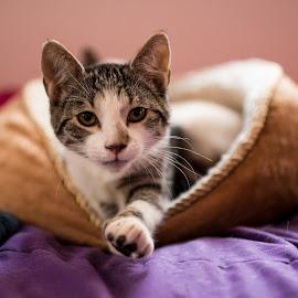 Cleo by Rachel Harsey - Animals - Cats Kittens ( pet portrait, cats, kitten, pets, baby animals, kittens, cute )