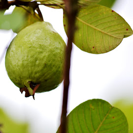 Guava by Aditya Kristianto - Food & Drink Fruits & Vegetables