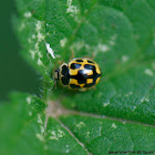 Fourteen-spotted Lady Bird