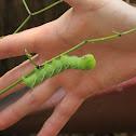 Tobacco Hornworm or Sphinx Moth