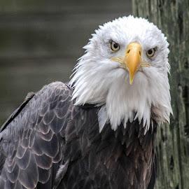 Bald eagle by Garry Chisholm - Animals Birds ( bird, garry chisholm, eagle, nature, wildlife, prey, raptor, bald )