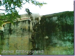 Goat on slope
