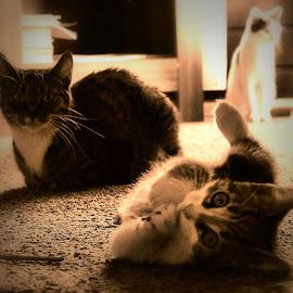 by Barry Van de Laar - Animals - Cats Kittens ( cats, kitten, cat, portrait, animal )